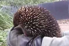 Watch This Tiny Echidna Let Out A Giant Sneeze