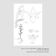 Brachionidium galeatum