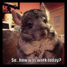 Cute Chinchilla.  Thoughtful Chinchilla. Click LIKE if you LOVE coming home to your pets after the work day!  Thanks goes to Kristina for sharing! Submit your chinchilla pictures at http://smallpetselect.com/
