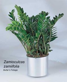 How To Care For The ZZ Plant - Zamioculcas Zamiifolia It is easy to propagate but develops slowly. Most of the plants are grown from leaf cuttings just as you would a jade plant. Don't let this plant sit in water or stay wet. This plant is better to keep on the dry side. If you water it too much or the plant sits in water you may find yellowing leaves. Low light