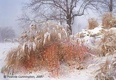 Country Gardener: Winter interest: Cornus 'Midwinter Fire'