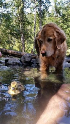 #Golden #Retriever with a cute duck