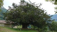 Los árboles más raros de España-tejo