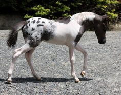 Unique horse coat colors like this pintaoosa (tobiano with spotted blanket) miniature horse are amazing and rare!