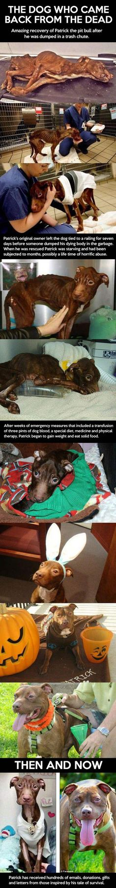 Patrick, the amazing pit bull… - http://limk.com/news/patrick-the-amazing-pit-bull-081343613/