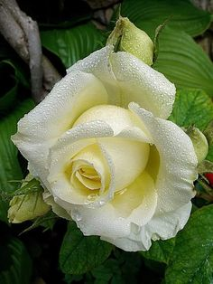 If you are thinking of rose gardening don't let this rumor stop you. While rose gardening can prove to be challenging, once you get the hang of it, it really isn't that bad. Flowers Nature, Exotic Flowers, Amazing Flowers, Love Flowers, Yellow Roses, White Roses, Red Roses, Pretty Roses, Beautiful Roses