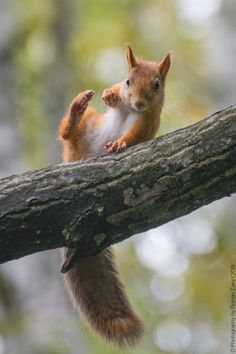 A Young Squirrel Losing Balance. Nature Animals, Animals And Pets, Baby Animals, Funny Animals, Cute Animals, Vida Animal, Mundo Animal, Squirrel Pictures, Funny Animal Pictures