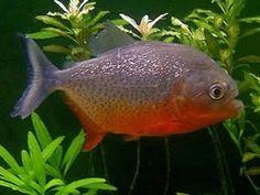 Redbellied Piranhas (Pyocentrus nattereri) $4.00 .. I just funny think I could stomach feeding them live fish