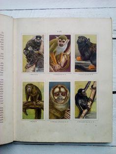 Apen en hoefdieren in artis verkade album verkade albums verzamel album plaatjes 3