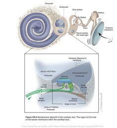 Vestibulocochlear VIII - Cranial Nerves