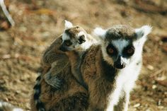 WATCH: Baby Lemur Discovers Rope