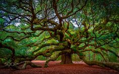 Carolina Live Oak by David Smith on 500px