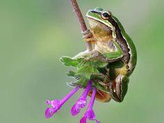 THIS intrepid tree frog thinks he is Tarzan.