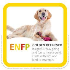 ENFP - golden retriever