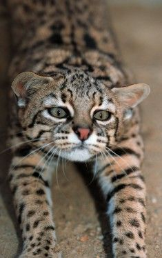 Geoffroy's cat- A wild cat that is native to southern and central regions of South America. It is about the size of the average domestic cat.