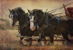Beautiful Draft Horses