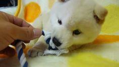 紐で遊ぶもふもふな白柴の子犬がかわいすぎる♡
