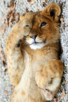 super cute and cuddly looking...but I still kow better than to get a pet lion