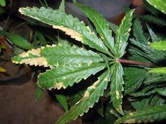 Link to a forum thread related to various cannabis ailments and nutrient deficiencies.