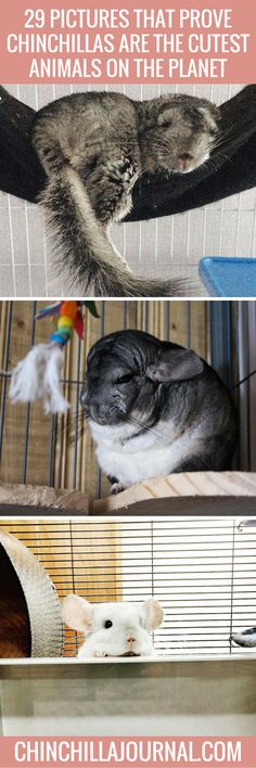 29 Pictures That Prove Chinchillas Are The Cutest Chinchillas On The Planet