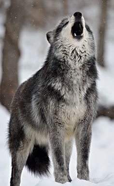Wolves by dfbphotos, via Flickr. (Speedwell, Pennsylvania)
