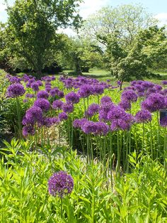 herbaceous border with alliums - Google Search