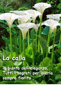 Outdoor Plants, Garden Plants, Zantedeschia Aethiopica, Chlorophytum, Amarillis, Lavender Garden, Green Life, Types Of Plants, My Flower