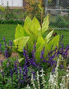 leslie land (larson photo) canna pretoria and salvia farinacea victoria blue Canna Lily, Potato Vines, Photographs Of People, Tropical Garden, Growing Plants, Garden Planning, Backyard Landscaping, Container Gardening, Perennials