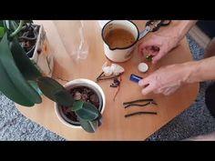 Razmnozavanje, umnozavanje orhideje Phalaenopsis - Propagation, multiplication, reproduction orchids - YouTube Orchid Flower Arrangements, Growing Orchids, Champagne Glasses, Plant Care, My Flower, Beautiful Flowers, Strudel, Gardens, Phalaenopsis Orchid
