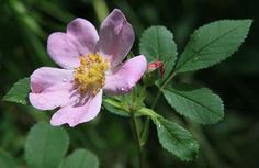 The wild rose was adopted as the state flower of Iowa in 1897. Although no particular species was designated by the Iowa Legislature, the wild prairie rose (Rosa Pratincola) is usually cited as the official flower.
