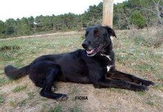 FIONA   Type : Labrador Sexe : Femelle Age : Adulte Couleur : Noir  Taille : Moyen Lieu : Bouches-du-Rhône - 13 (Provence-Alpes-Côte d'Azur)  Refuge :  Refuge S.P.A. des Baux de Provence(Bouches-du-Rhône)  Tél : 04 90 54 60 86