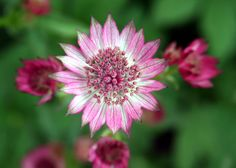 Image from http://www.kathrynaalto.com/wp-content/uploads/2010/11/Astrantia.jpg.