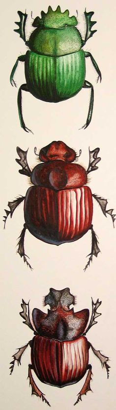 Green Grooved Dung Beetle (top)