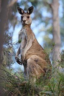 EASTERN GREY KANGAROO....aka the great grey kangaroo and the forester kangaroo....a marsupial found in southern and eastern Australia with a population of several million....can stand 6.6 feet tall