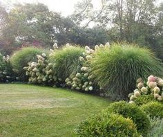 hydrangea paniculata and miscanthus sinensis 'morning light' 4-6' by krista