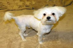 So why are Maltese Haircuts necessary for your Maltese pet? The answer is simple: your your maltese has lots of coat hair that can become matted and tangled. Maltese Dog Breed, Maltese Shih Tzu, Pomeranian Facts, Pomeranian Puppy, Maltese Haircut, Pom Dog, Animal League, Puppy Cut, Dog Show