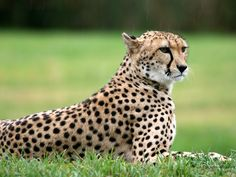 I am a cheetah, which wildlife animal are you?    www.whatanimalaml.com