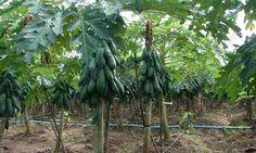 สวนมะละกอ - Google Search