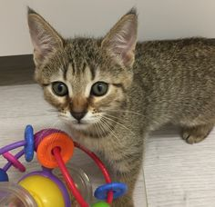 Pixie Bob Kittens, Greatest Mysteries, Dna Test, Domestic Cat, Cats, Animals, Gatos, Animales, Animaux