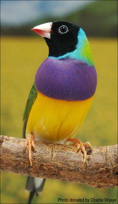 Gouldian finch (Erythrura gouldiae) Black-headed Purple-breasted Normal cock. Photo by Charlie Wijaya