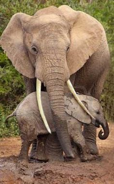 Elephants are large mammals of the family Elephantidae and the order Proboscidea. Traditionally, two species are recognized, the African elephant (Loxodonta africana) and the Asian elephant (Elephas maximus). Elephants are scattered throughout sub-Saharan Africa, and South and Southeast Asia. They are the only surviving proboscideans; extinct species include mammoths and mastodons. Baby.