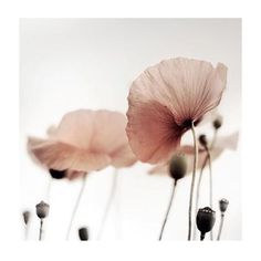 nude pink nude pink The post nude pink appeared first on Fotowand ideen. Deco Floral, Arte Floral, Pink Flowers, Beautiful Flowers, Pink Poppies, Simply Beautiful, Jolie Photo, Pretty Pictures, Planting Flowers