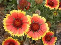Image result for field of Indian blanket wildflowers