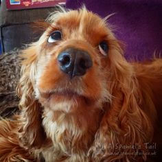 A dog and her owner: #PetplanCares | A Spaniel's Tail