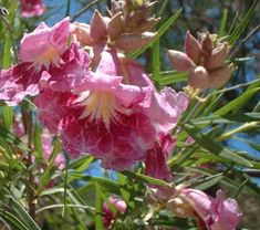 The lovely orchid-like, pink flowers and beige flower buds of Chilopsis linearis, Desert Willow, at Santa Margarita, California.
