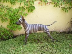 xoloitzcuintli zebra