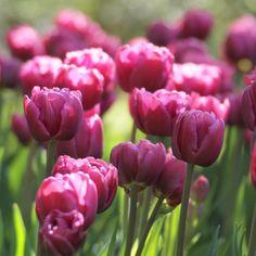 Tulip Margarita - Longfield Gardens