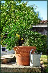Le citronnier est un grand arbuste frileux de la famille des rutacées qu'il convient de cultiver en Permaculture, Horticulture, Planting Flowers, Gardening, Nature, Plants, Lemon, Garden, Tall Shrubs