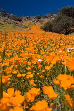FIELD OF GOLDEN POPPIES this is the state flower of California I believe and they were growing wild right outside of one of our appartments in San Fran.