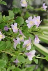 Chinese Marshflower (Mazus reptans) Blue - Plants